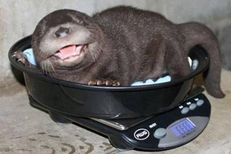 baby-otter-weighed