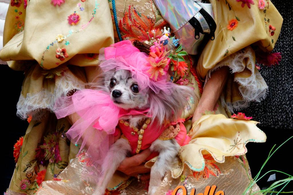 Chihuahua dressed for Easter Parade with pink accessories