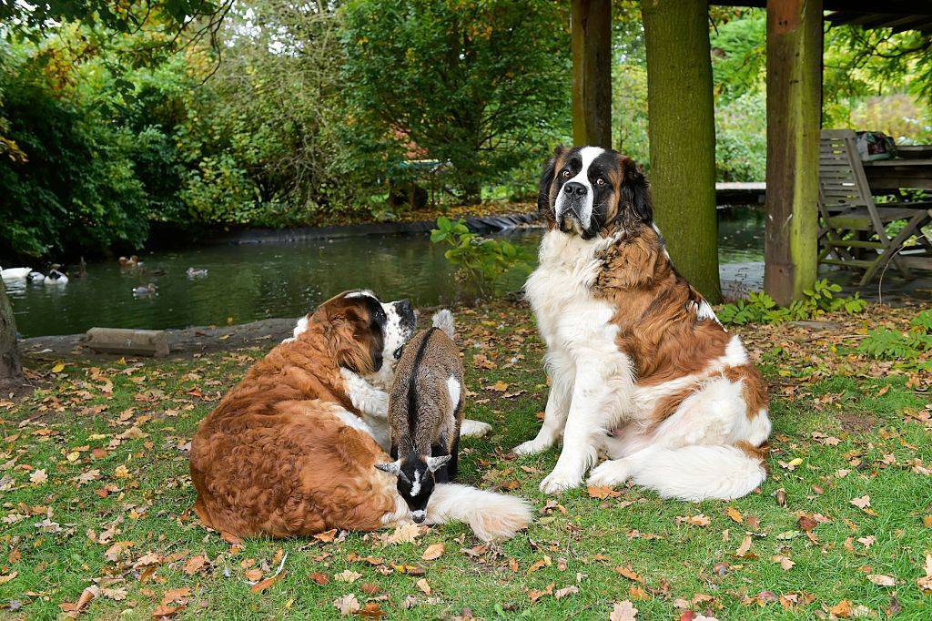 a goat in the middle of two Saint Bernard dogs outside