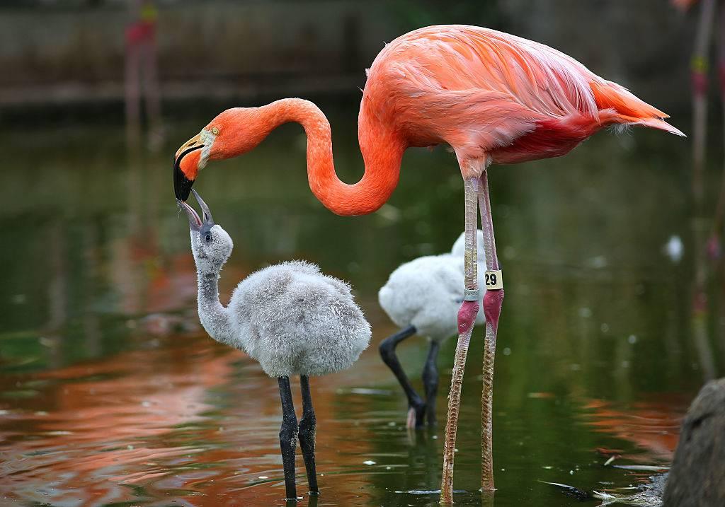 A Caribbean flamingo feeds its baby
