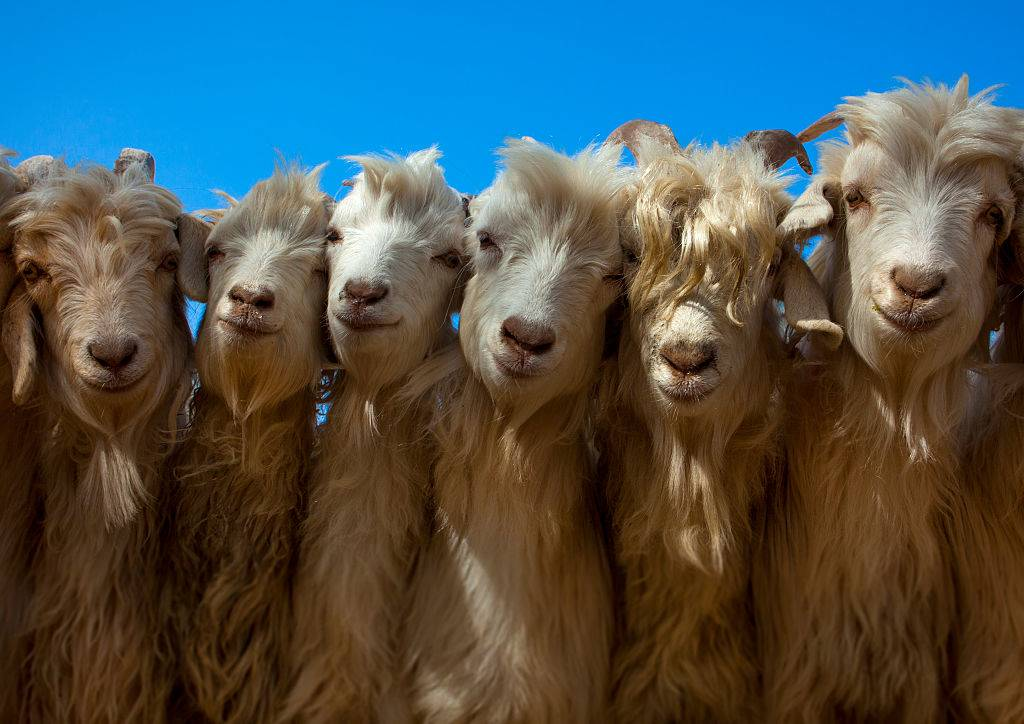 goats posing together for a photo