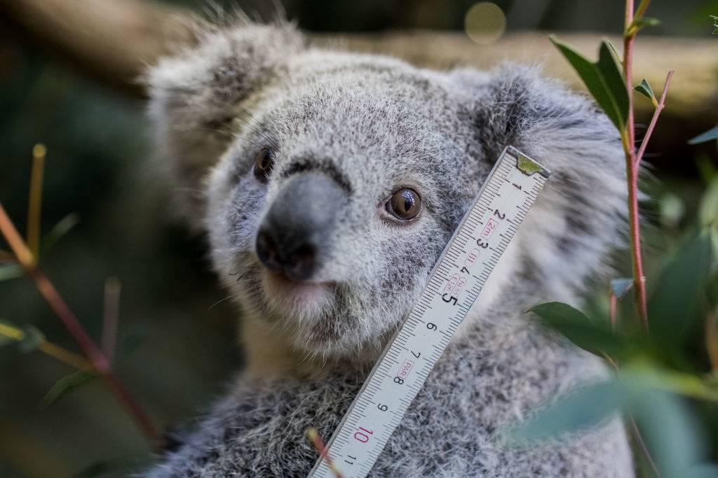 a baby koala holding a measuring stick