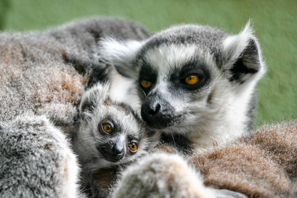 A baby ring-tailed lemur hugging her mom