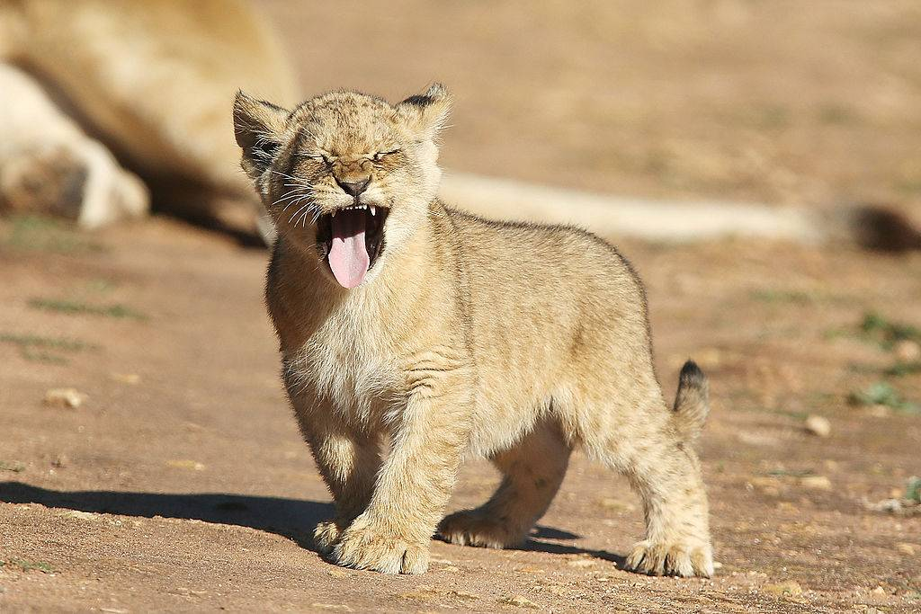 a lion cub sticking out its tongue