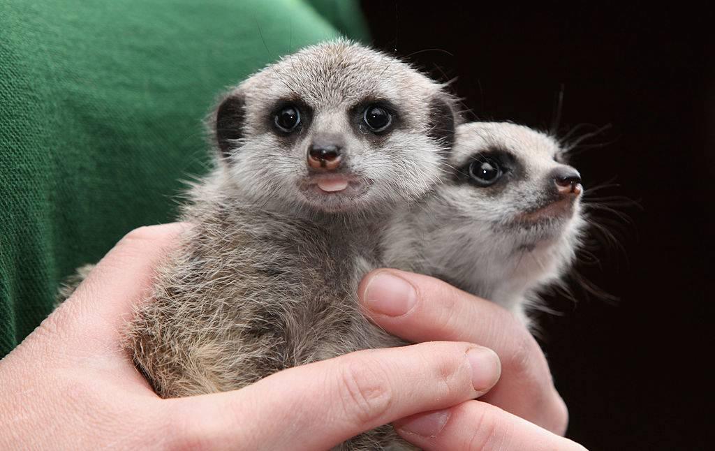 baby meerkats being held up