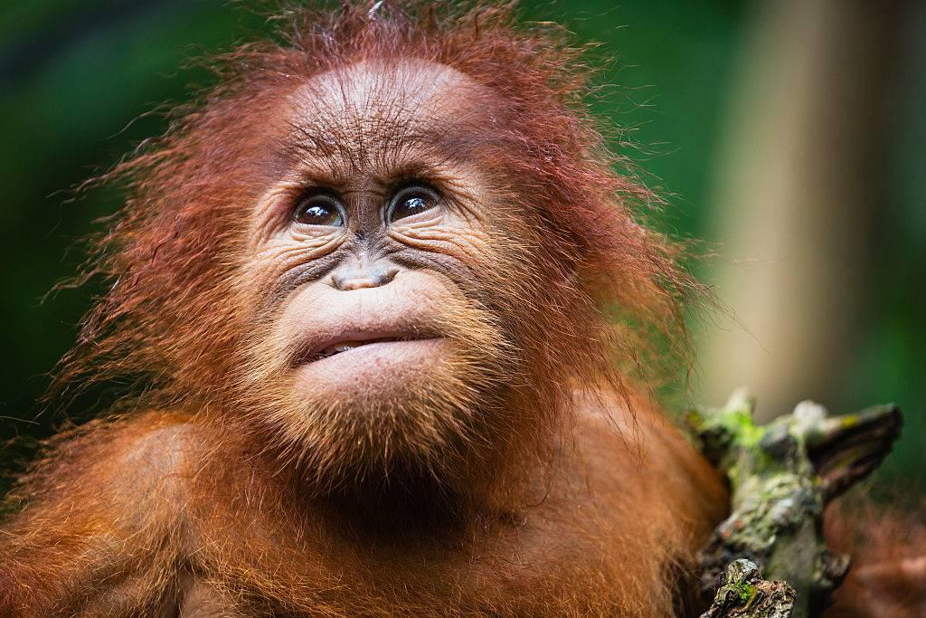 a baby orangutan posing for a photo