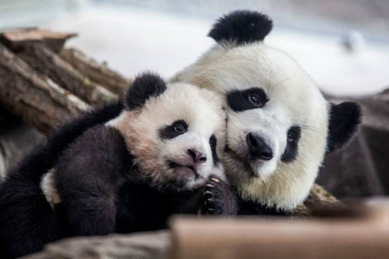 mom and baby panda snuggling together
