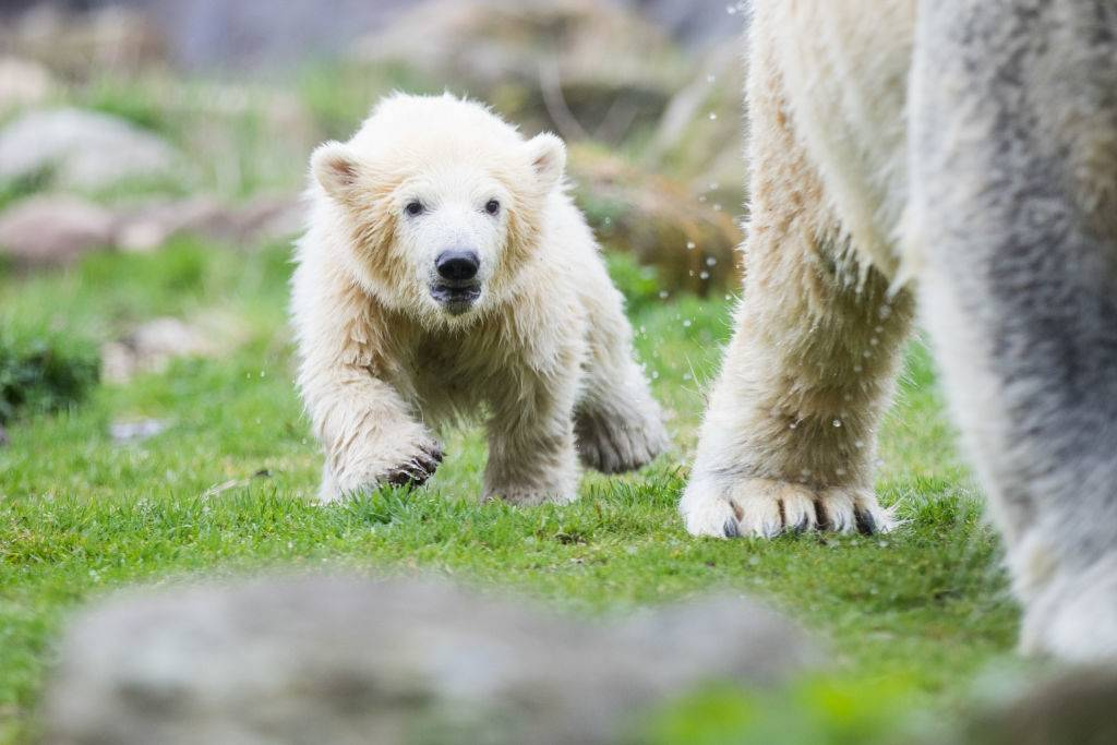 a baby polar bear running around with her mother