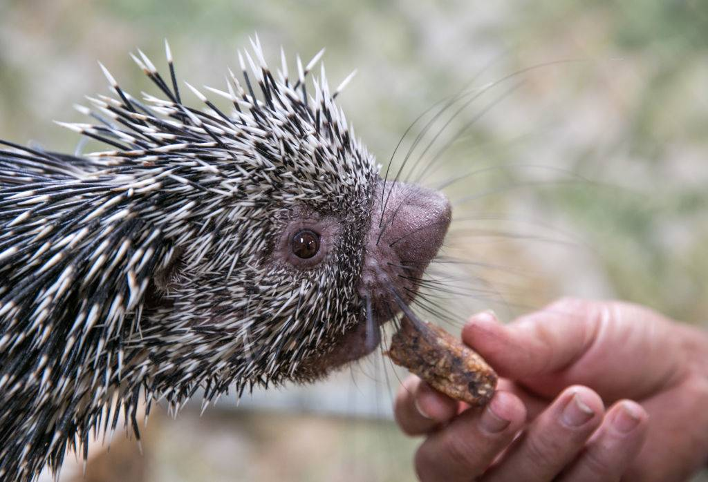 a baby porcupine being fed a snack