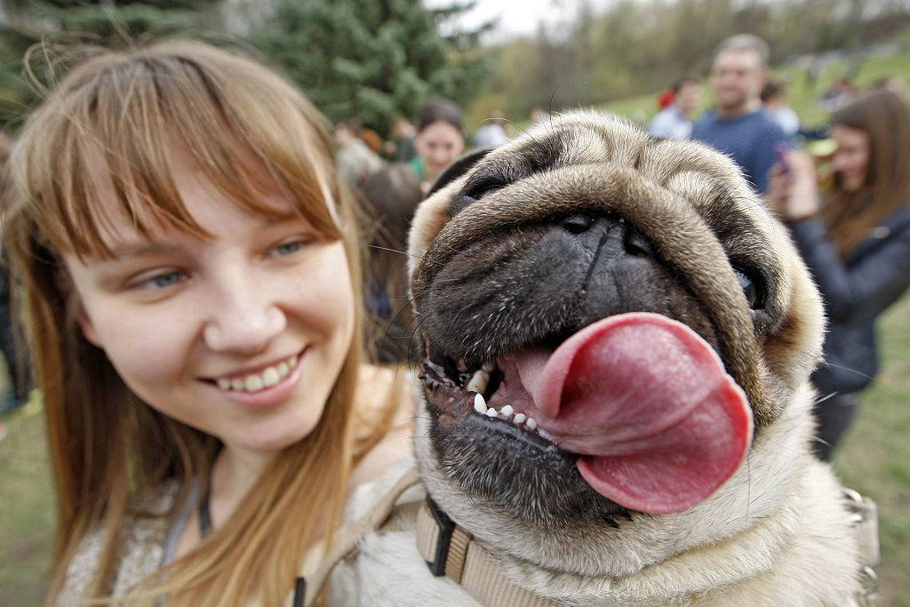 woman holding a pug panting with his tongue out