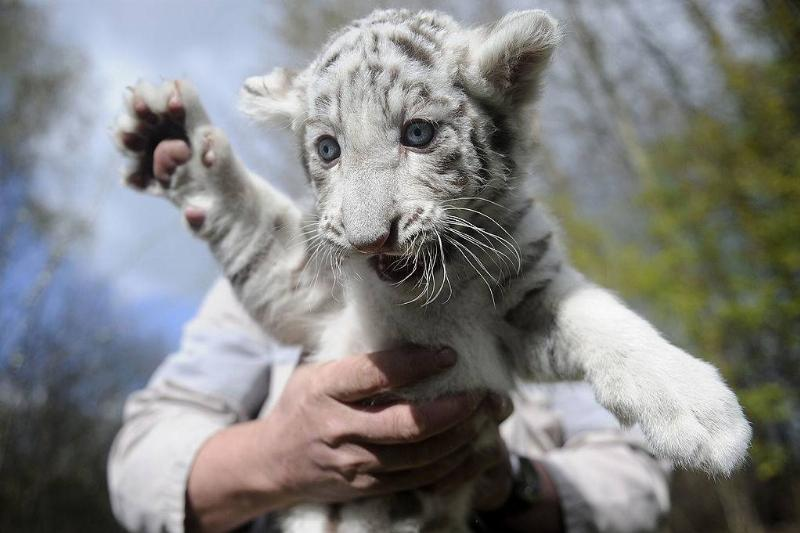 a baby white tiger being held up