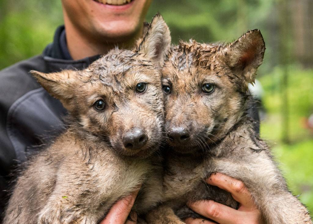 An animal keeper carries two wolf puppies