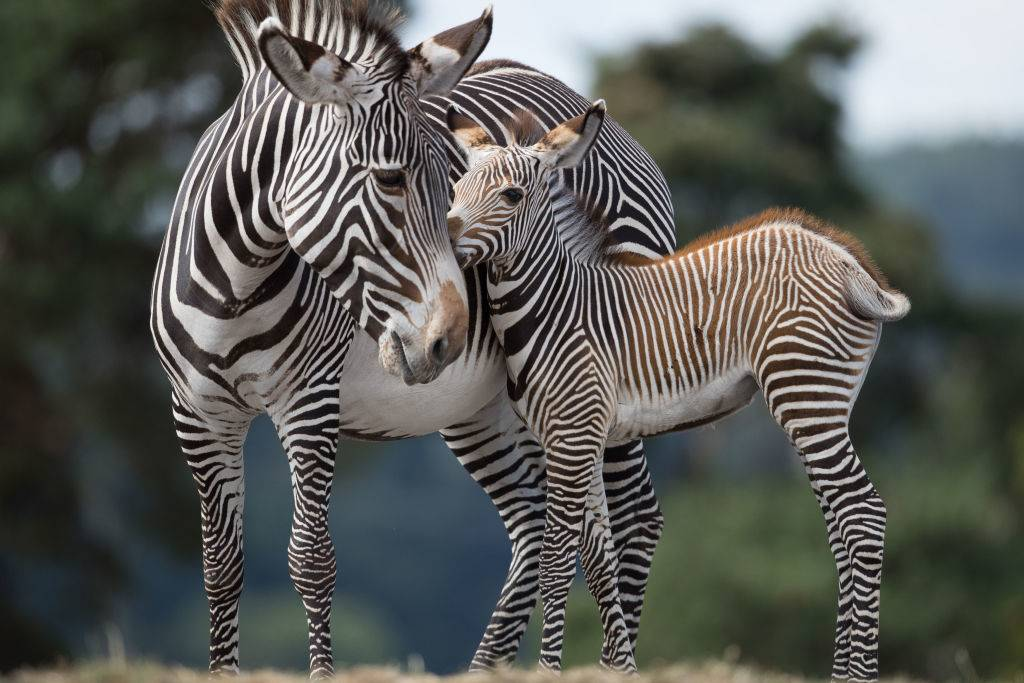 a mother and baby zebra giving a kiss