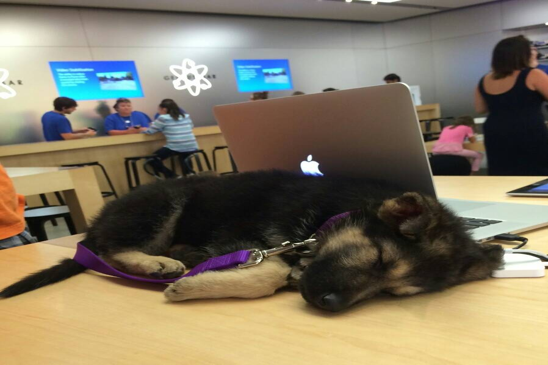 A German shepherd puppy sleeps on a desk in an Apple store.