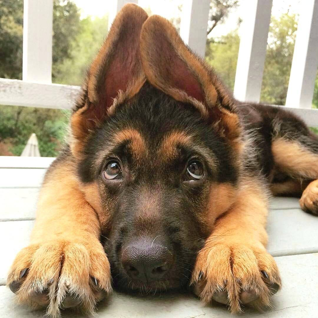 A German shepherd puppy lies down and looks up with puppy eyes.