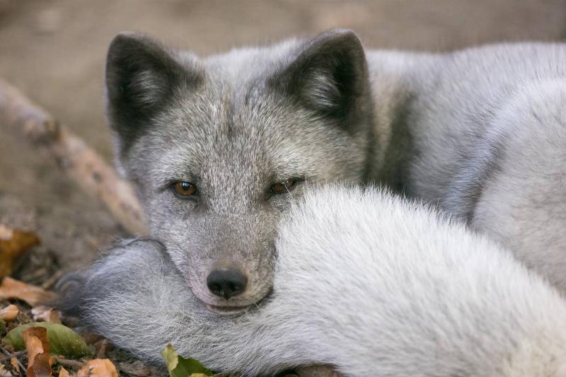 Will The Fox Trust Them?