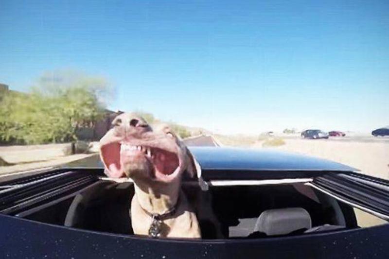 funny-dog-car-ride