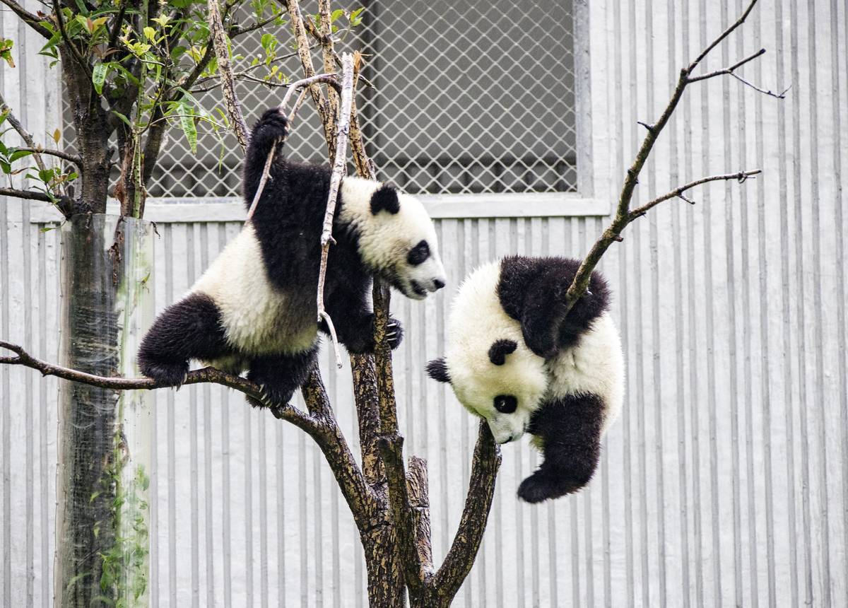 The Giant Pandas At The Hong Kong Zoo Procreating