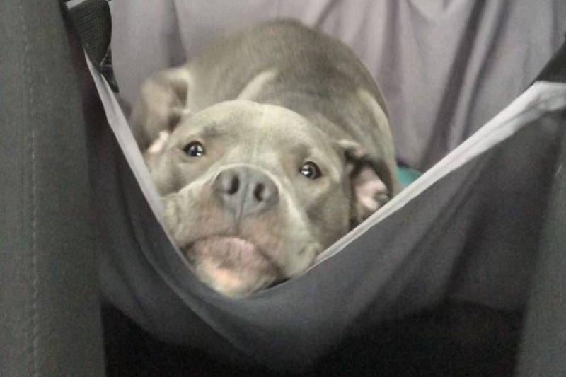 pitbull-staring