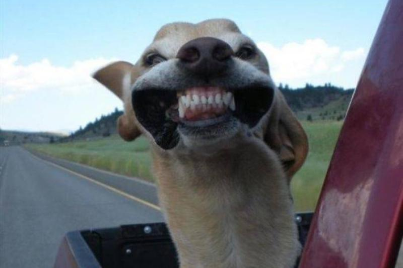 smiling-dog-car-ride