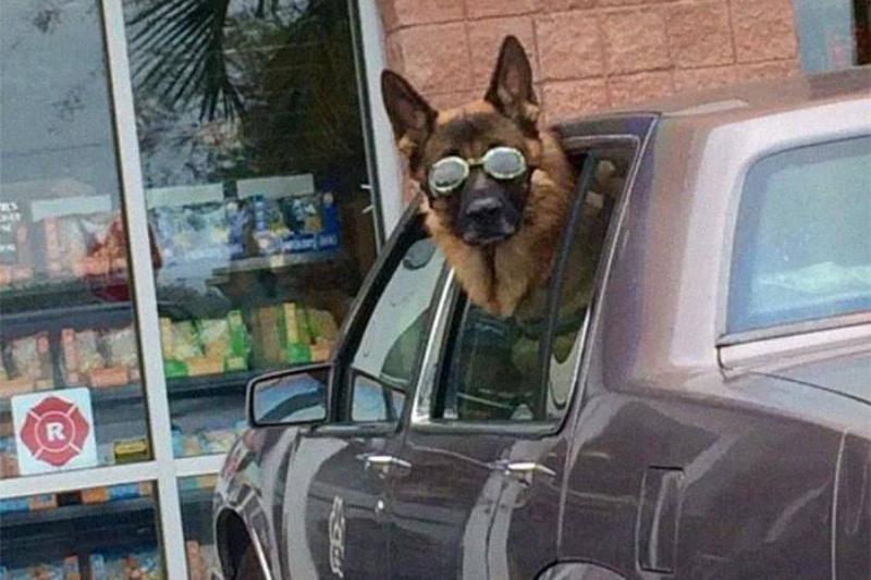 sunglasses-dog