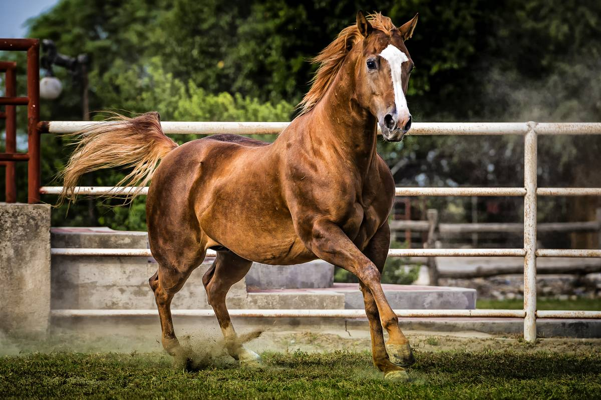 Bay quarter horse mare running in the arena, Cd