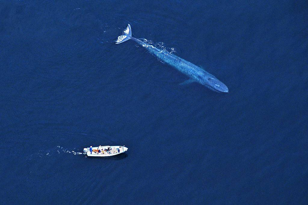 An aerial view of a whale getting up close to a boat