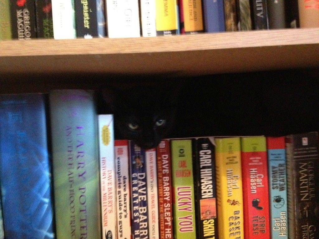 cat-shelf
