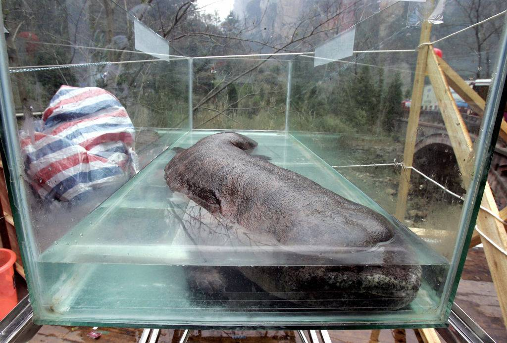 a chinese giant salamander inside a glass enclosure