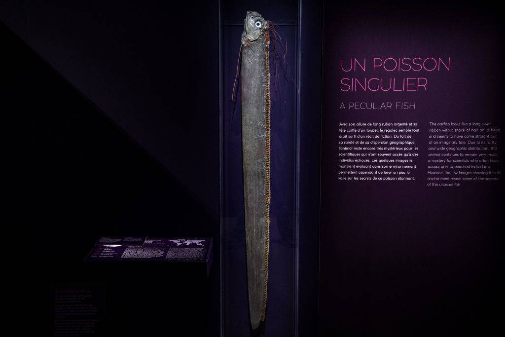 A giant oarfish is displayed for the 'Ocean' exhibition at the National Museum of Natural History