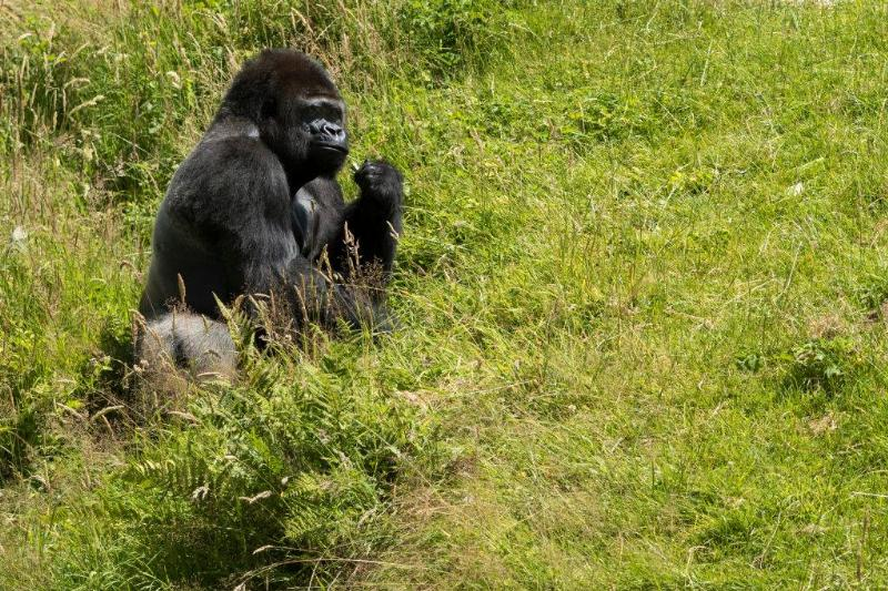 a gorilla sitting on the grass