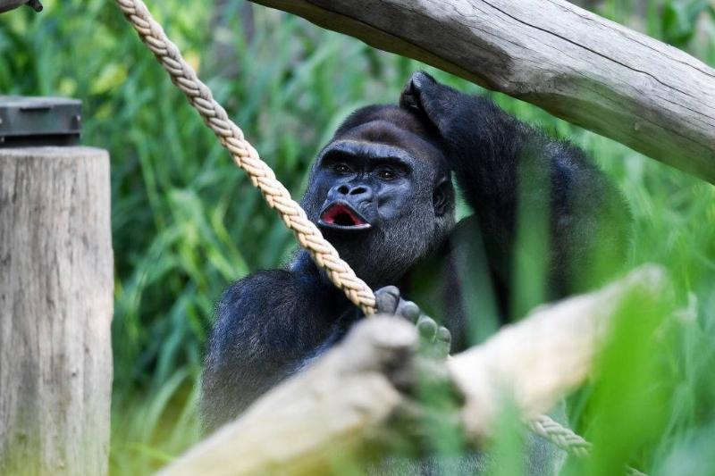 a gorilla holding a rope outside