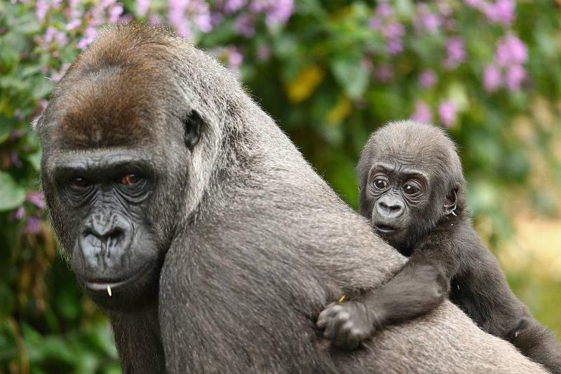 an adult gorilla carrying its baby on its back