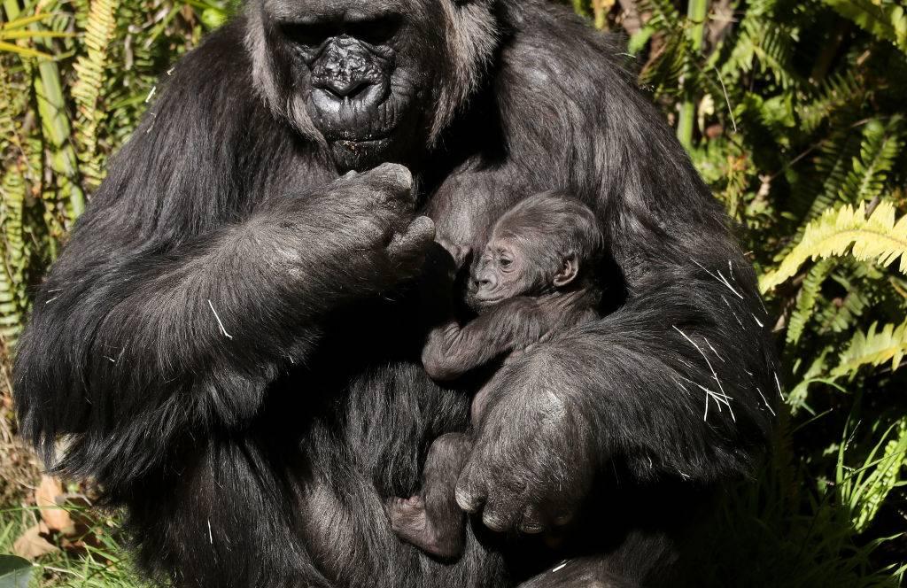 an adult gorilla holding a baby gorilla