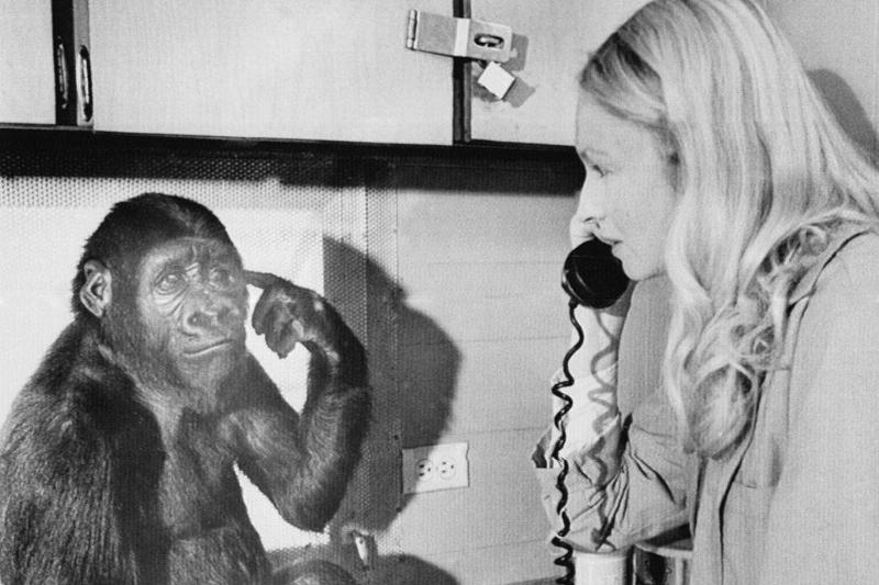 Koko the gorilla speaking sign language with a woman on a phone