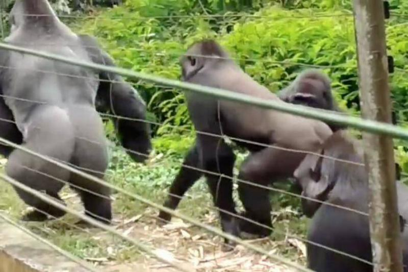 four gorillas gathered around each other