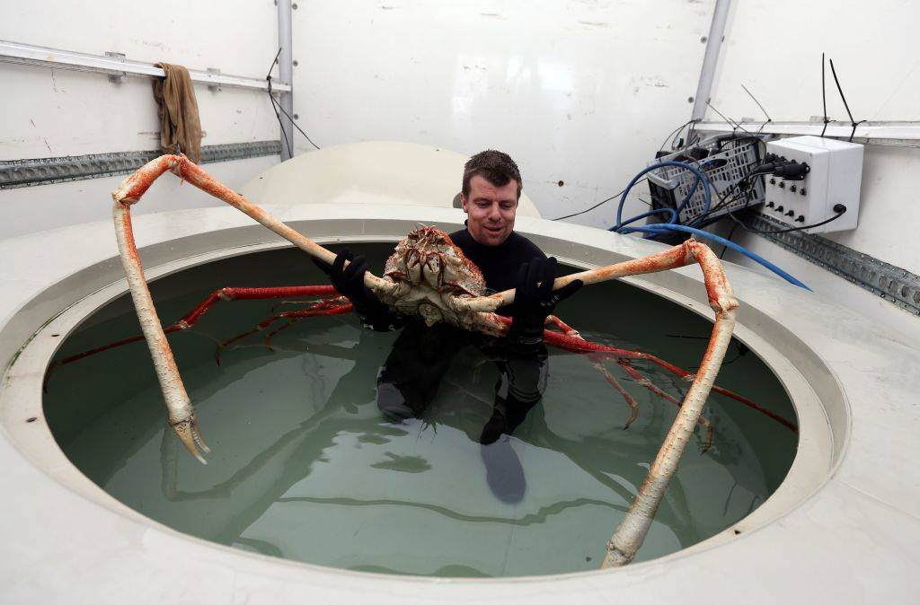 a man holding a japanese spider crab in a tank