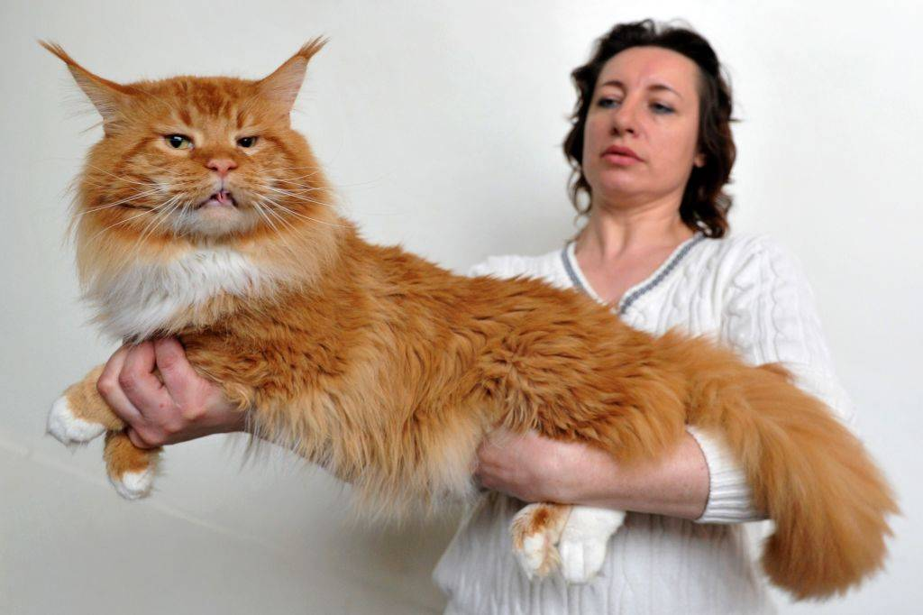 A woman and her orange Maine Coon cat pose