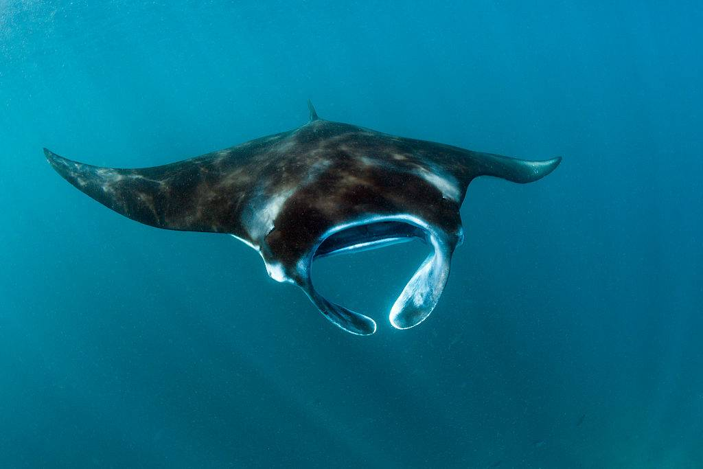 a manta ray swimming in the ocean