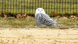 snowy-owl-central-park