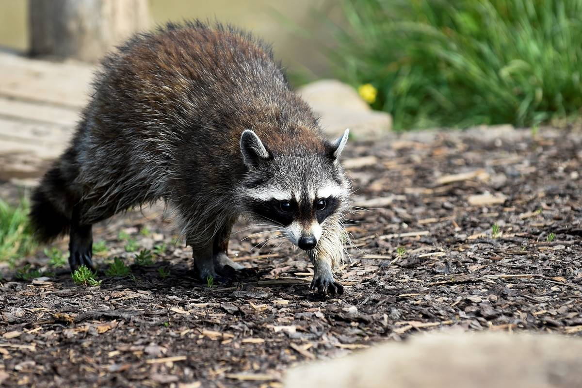 A raccoon walks forward with an arched back.