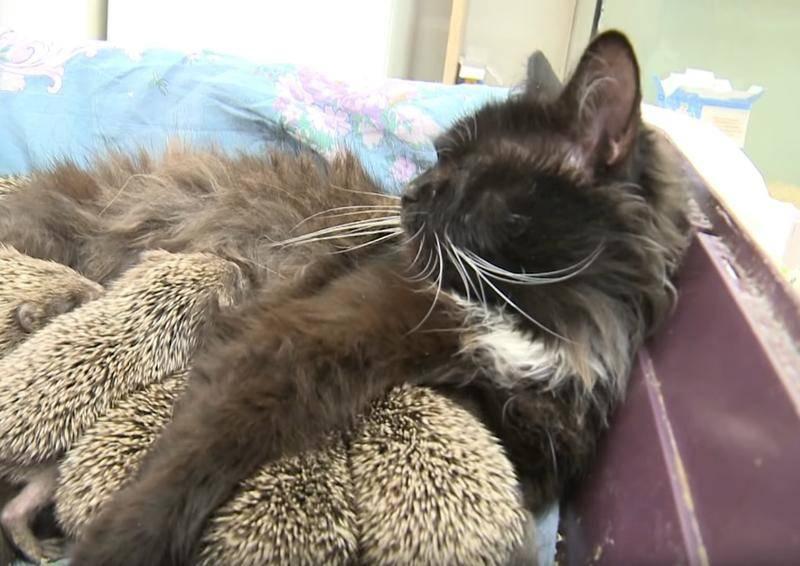cat-nurses-hoglets-2