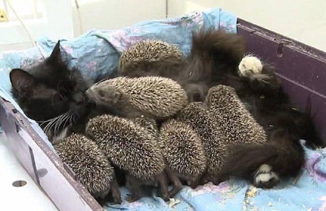 cat-nurses-hoglets-5