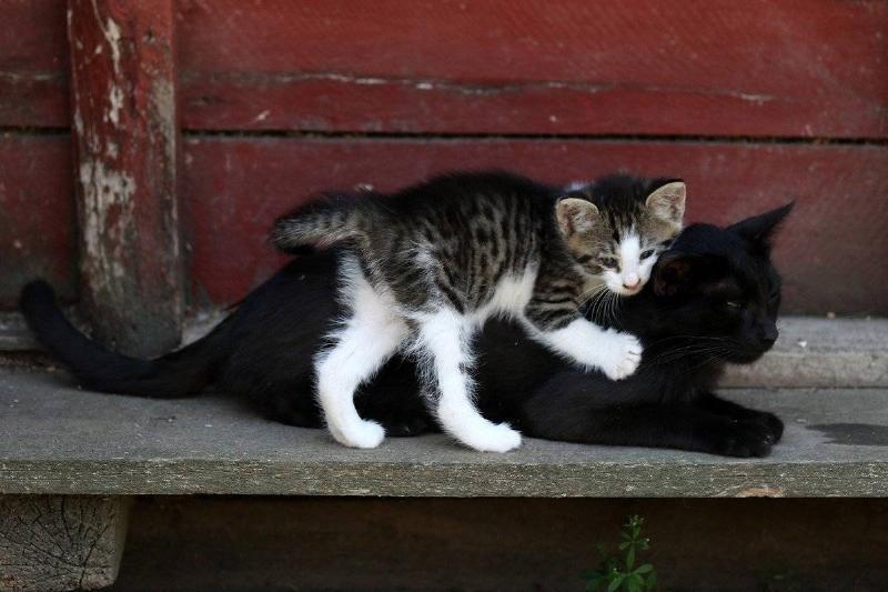 cat-with-kitten
