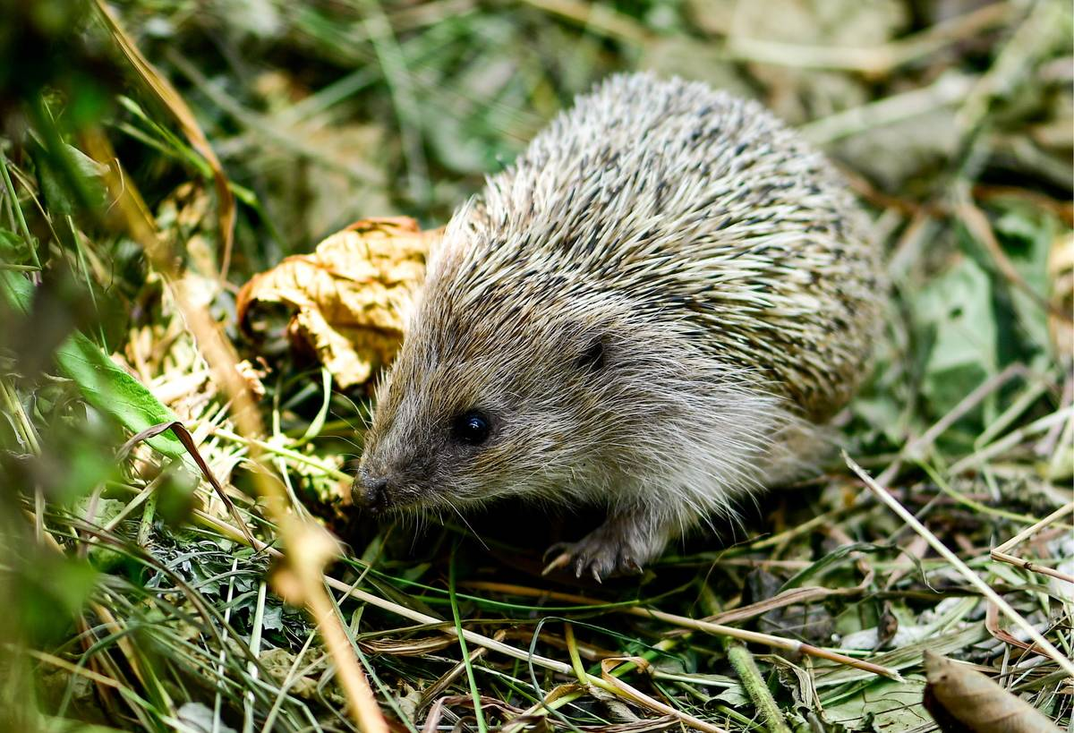 A hedgehog in an enclosure at the Sadgorod zoo.