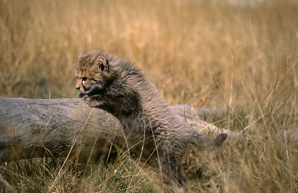 Picture of a cheetah