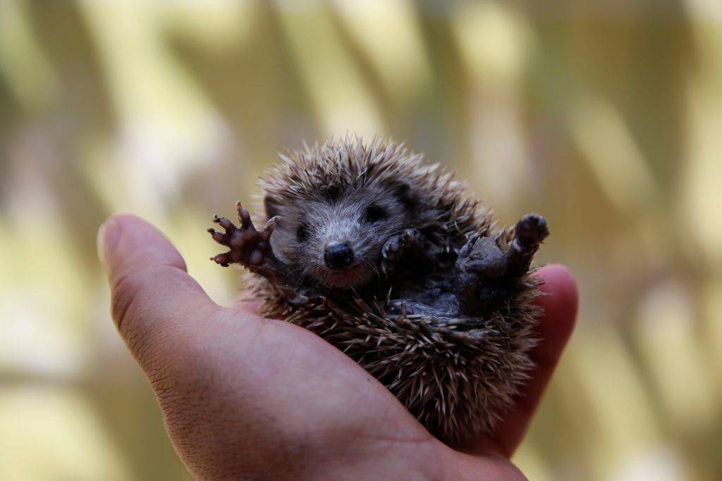 Picture of baby hedgehog
