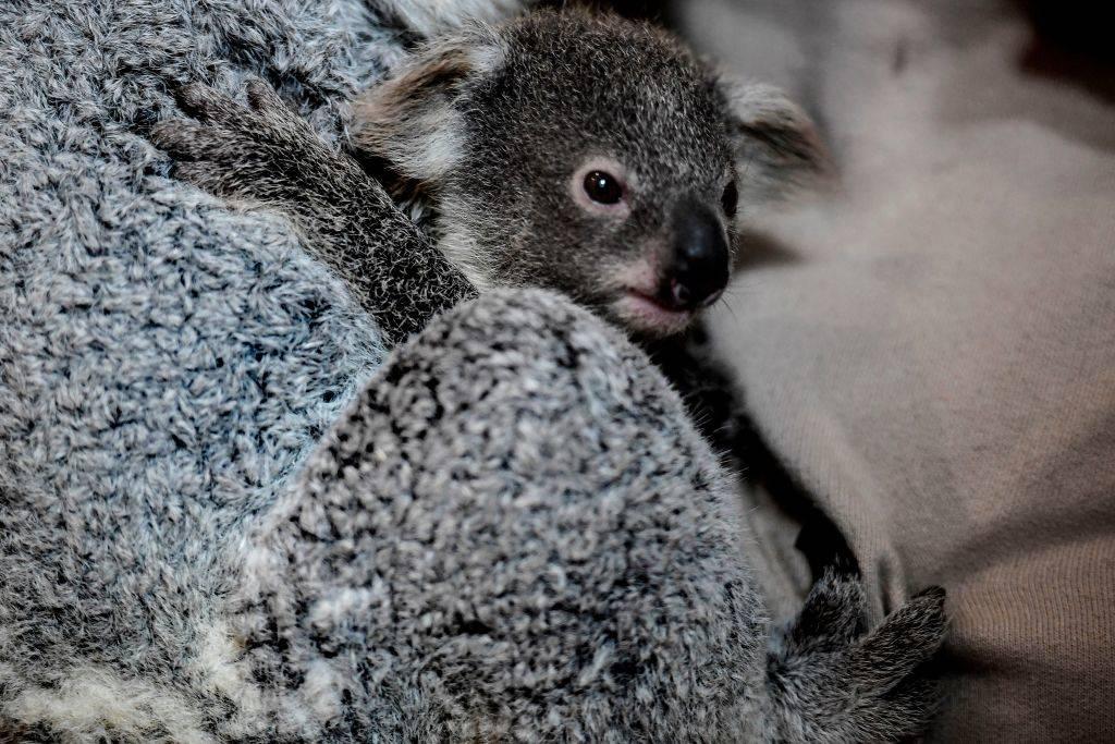Picture of a koala