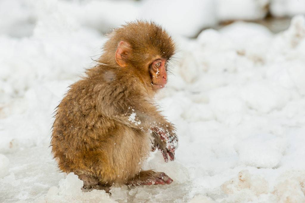 Picture of a macaque