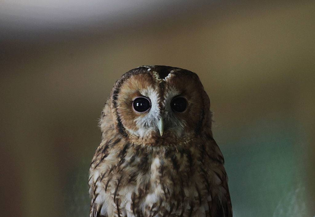Picture of baby owl